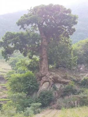 保护古树,却在其身上钉铭牌,合适不合适?